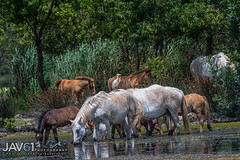 Camargue horses finding shelter from the heat ...-5239 (George Vittman) Tags: animals birds landscape nature photography bouchesdurhône france camargue horses foal water marsh nikonpassion jav61photography jav61 fantasticnature