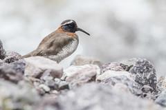 Diademed sandpiper-plover (antonsrkn) Tags: bird ornithology birding nikon nikkor wildlife animal birdwatching diademedsandpiperplover phegornismitchellii cordilleravilcanota peru