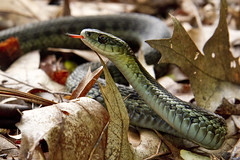 Garter Snake (brucetopher) Tags: garter snake gartersnake thamnophissirtalis thamnophis sirtalis reptile creature animal wildlife crawl strike hunt hunting pose tongue forkedtongue slither low ground earth legless nolegs nature natural outdoors outdoor wild scales