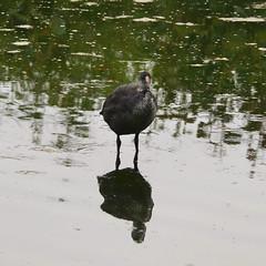 jeune foulque  (fulica atra) (pierre.pruvot2) Tags: france pasdecalais condettehardelot chemindumarais lacduhéron oiseau bird eau water lake lac panasonic lumixg9 leica coot