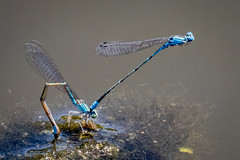 Bluets laying eggs (tresed47) Tags: 2019 201906jun 20190622kardonparkmacro canon7d chestercounty content damselfly folder insects june macro pennsylvania peterscamera petersphotos places season skimmingbluet spring takenby technical us