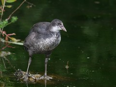 jeune foulque  (fulica atra) (pierre.pruvot2) Tags: france pasdecalais condettehardelot lacduhéron chemindumarais oiseau bird eau lac lake lumixg9 panasonic leica coot
