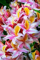 pink and yellow, make a great combination.  K3II2851 (candysantacruz) Tags: redwoodnationalpark