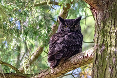 Great Horned Owl (Bubo virginianus) (Gary R Rogers) Tags: yelloweyes awesome colorimage nature birds frontview perched animal owl wild majestic birdofprey tree wildlife forest bird greathornedowl outdoors colorphoto closeup raptor branch oneanimal