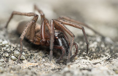 Gnaphosidae (cf. Drassodes sp.) (Benjamin Fabian) Tags: gnaphosidae platt bauch spinne plattbauchspinne araneae spider arthropod macro close up drassodes