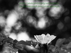 More or less (ex apparatus) Tags: blumen kameras objektive olympuse520 pflanzen rosen systematischetags umwelt rosa zd70300