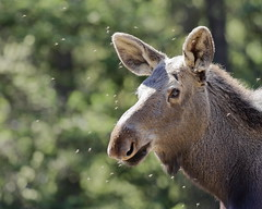 Mosquitos and moose (fred.colbourne) Tags: moose mosquito wildlife jaspernationalpark alberta