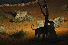 Lion (safrounet) Tags: ktplions kgalagadi southafrica afriquedusud cat chat grandchat felin arrid arride semiarrid semiarride sable sand waterhole pointdeau kieliekrankie bigcat eau water bordel mess