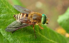 Deer or Horse Fly - ♂ (Stonemyia californica) (J.Thomas.Barnes) Tags: