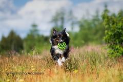 Running (Flemming Andersen) Tags: dog bordercollie outdoor nature hund pet animal ejstrupholm centraldenmarkregion denmark ball green