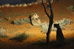 Lion (safrounet) Tags: ktplions kgalagadi southafrica afriquedusud cat chat grandchat felin arrid arride semiarrid semiarride sable sand waterhole pointdeau kieliekrankie bigcat eau water bordel mess nightsfever