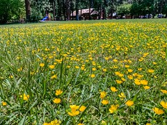 Wildflowers in the Mount Shasta city park.  Mount Shasta, California (lhboudreau) Tags: flower flowers wildflower wildflowers citypark mountshasta california northerncalifornia field grass yellow park outdoor outdoors lawn mrshasta lodge building mountshastalodge