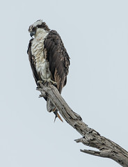 Osprey 3 (shottwokill) Tags: wetlands nature marsh bolsachica california osprey nikon d5 200500 nikkor birdsofprey bolsachicaecologicalreserve