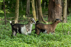 KIKO GOATS (nsxbirder) Tags: kiko animals indiana goat places ripleycounty