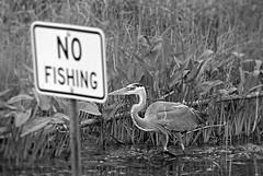 I See Not Everyone Got The Memo (Eat With Your Eyez) Tags: park county blue ohio bird eye heron nature animal sign outdoors fly flying big wings fishing eyes no wing beak feather large medina avian nofishing food feathers chain eat stealth hungry foodchain medinacountyparks pentax k200d white black