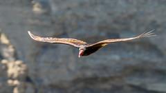 IMG_9834 (brian.a.stamper) Tags: animal bird cathartesaura newyork taughannockfallsstatepark turkeyvulture trumansburg unitedstatesofamerica