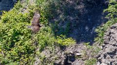 IMG_9689 (brian.a.stamper) Tags: animal bird cathartesaura newyork taughannockfallsstatepark turkeyvulture trumansburg unitedstatesofamerica