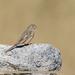 Grey-necked Bunting (Emberiza buchanani)