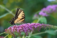 Swallowtail (gwuphd) Tags: sony 90mm f28 macro swallowtail butterfly