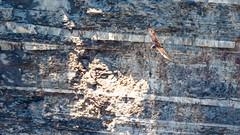 IMG_9701 (brian.a.stamper) Tags: animal bird cathartesaura newyork taughannockfallsstatepark turkeyvulture trumansburg unitedstatesofamerica