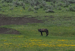 Scout Wolf (scott5024) Tags: wolf lamar valley yellowstone national park wildlife hunt