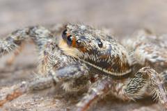 Jumping Spider (Rich Lukey) Tags: cute spider jumping insect nikon d7100 sigma 105m macro closeup flash extension achromat homemade diffuser arachnid eyes hunter hairy predator furry