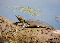 Spiny Softshell Turtle, Bucks County, Pennsylvania, USA, June 2019 (sstaedtler) Tags: turtle reptile pennsylvania buckscountypa nature outside outdoors wildlife animal softshell herping conservation