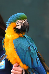 Macaw (arlinescottphotography.com) Tags: arlinescottphotography 2005 portland zoo oregon usa critters monkey colobus black white bat rodent macaque baby turkey meercat reticulated giraffe redtailed hawk redtail macaw parrot peregrine falcon bald eagle vulture raptor great horned owl red tail asian elephant malaysian sun bear bird sheep wool goat kid seal sea lion lions pnw pacific northwest wing wings feather feathers swim feathered beak egret cattle trunk trunks dirt rock stone foliage handler handlers keeper keepers glove falconry