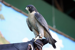 Peregrine Falcon (arlinescottphotography.com) Tags: 2005 usa baby white black oregon turkey portland zoo monkey rodent hawk bat parrot critters giraffe redtailed macaw colobus redtail meercat peregrine macaque reticulated arlinescottphotography bear red sea sun elephant bird wool swim asian kid wings sheep pacific northwest eagle tail great wing lion feathers bald feather goat raptor seal owl falcon lions vulture malaysian pnw horned rock stone cattle beak foliage dirt handlers trunk glove trunks egret handler falconry feathered keeper keepers