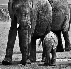 Protection (camerlin) Tags: elephants africanelephants elephant mother calf elephantmotherandcalf babyelephant protectivemotherelephant africa africanwildlife naboishoconservancy maasaimara kenya