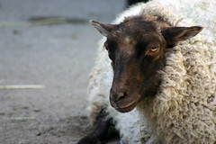 Sheepish (arlinescottphotography.com) Tags: arlinescottphotography 2005 portland zoo oregon usa critters monkey colobus black white bat rodent macaque baby turkey meercat reticulated giraffe redtailed hawk redtail macaw parrot peregrine falcon bald eagle vulture raptor great horned owl red tail asian elephant malaysian sun bear bird sheep wool goat kid seal sea lion lions pnw pacific northwest wing wings feather feathers swim feathered beak egret cattle trunk trunks dirt rock stone foliage handler handlers keeper keepers glove falconry