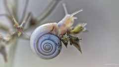 House on the top of the grass (malioli) Tags: nature closeup macro snail canon