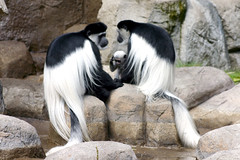 Black and White Colobus (arlinescottphotography.com) Tags: arlinescottphotography 2005 portland zoo oregon usa critters monkey colobus black white bat rodent macaque baby turkey meercat reticulated giraffe redtailed hawk redtail macaw parrot peregrine falcon bald eagle vulture raptor great horned owl red tail asian elephant malaysian sun bear bird sheep wool goat kid seal sea lion lions pnw pacific northwest wing wings feather feathers swim feathered beak egret cattle trunk trunks dirt rock stone foliage handler handlers keeper keepers glove falconry
