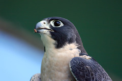 Peregrine Falcon (arlinescottphotography.com) Tags: arlinescottphotography 2005 portland zoo oregon usa critters monkey colobus black white bat rodent macaque baby turkey meercat reticulated giraffe redtailed hawk redtail macaw parrot peregrine falcon bald eagle vulture raptor great horned owl red tail asian elephant malaysian sun bear bird sheep wool goat kid seal sea lion lions pnw pacific northwest wing wings feather feathers swim feathered beak egret cattle trunk trunks dirt rock stone foliage handler handlers keeper keepers glove falconry