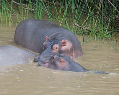 A BABY TRYING TO NURSE AND IT'S 2 YEAR OLD BROTHER IS TRYING TO BLOCK THE BABY FROM MUMMY.   RICHARD'S BAY AREA.  SOUTH AFRICA. (vermillion$baby) Tags: richardsbay southafrica animal grass hippo hoppos lagoon marsh wetland