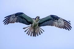 The Fish Was This Big!! (lightonthewater) Tags: osprey ospreyinflight bird birdofprey bluesky birdinflight sky fortwaltonbeach florida pier