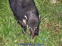50 V.A.Jr Quati Campos do Jordão SP A640 Jun19 (3) (Vivaldo Armelin Jr.) Tags: quatí animais fauna brasileira animal brazilian
