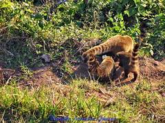 50 V.A.Jr Quati Campos do Jordão SP A640 Jun19 (1) (Vivaldo Armelin Jr.) Tags: quatí animais fauna brasileira animal brazilian