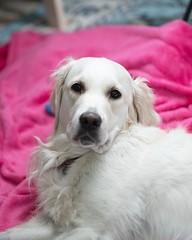 "This is the ""highfalutin"" pose  #goldenretrievers ⚡️ #althea (Alex Beattie) Tags: althea golden dog california westlake artisanbrandingcom"