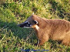 50 V.A.Jr Quati Campos do Jordão SP A640 Jun19 (2) (Vivaldo Armelin Jr.) Tags: quatí animais fauna brasileira animal brazilian