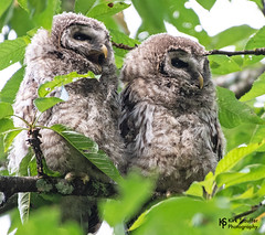 Baby Barred Owls (Kirk Stauffer) Tags: wa wash us usa seattle woodinville duvall kirkstauffer kirk stauffer photographer nikon d5 june 2019 wildlife wild sweet adorable great awesome darling precious beautiful cute pretty nature outside mammals raptor wings plumage feathers beak large head fowl tree moss green wood woods branch color baby young small strigiformes nocturnal bird prey fly flight hoot call whistle hiss who cooks for you