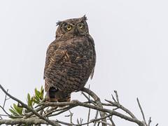 Great Horned Owl #12 (lennycarl08) Tags: bird birds birdofprey raptor greathornedowl owl