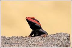 8900 - peninsular rock  , Yelagiri hills (chandrasekaran a 61 lakhs views Thanks to all.) Tags: peninsular rock agama lizard reptiles yelagiri nature tamilnadu india canon60d tamronsp150600mmg2 rockagama