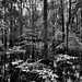 Cypress Trees and a Floodplain in Congaree National Park (Black & White)