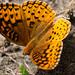 Butterflies of Max Patch