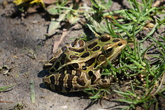 Leopard Frog (Toats Master) Tags: frog water marsh amphibian green nature