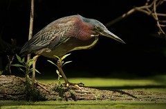 green heron (don.white55 That's wild...) Tags: donpwhitephotography canoneos70d tamronsp150600mmf563divcusda011 bird heron nature wildlife wildwoodlake wildwoodpark wildwoodnaturepreserve wadingbirds harrisburgpennsylvania harrisburgwildlife birdwatching birding naturephotography shorebird ngc specanimal 100faves 75comments fiftycomments 100comments npc coth coth5 150comments gallery 200comments
