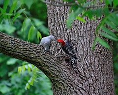 Red-bellied Woodpeckers.... (Steve InMichigan) Tags: redbelliedwoodpecker woodpecker birds michiganbirds northamericanbirds