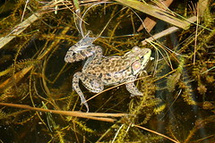 Frog (Toats Master) Tags: frog water marsh amphibian green nature