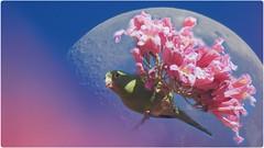Periquito (sileneandrade10) Tags: lua luacheia photoedition photoart photoediting photocollage doubleexposure effects azul rosa ipêrosa ipês sileneandrade periquitodeencontroamarelo periquito nikoncoolpixp900 nikon yellowchevronedparakeet brotogerischiriri